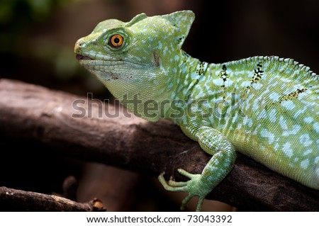 basilisk on the fulcrum of a dry tree - (basiliscus plumifrons)