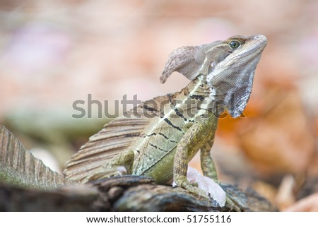 Basilisk or Jesus Christ Lizard (Basiliscus basiliscus) - stock photo