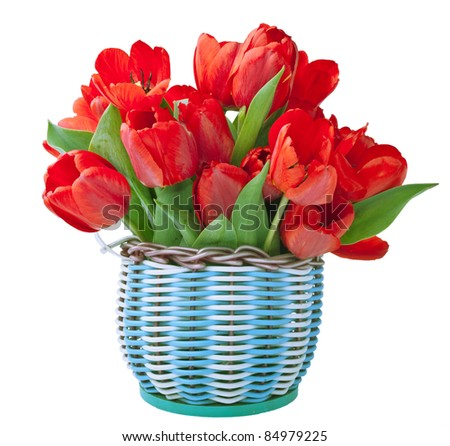 Basket for flowers full of red tulips isolated on white - stock photo