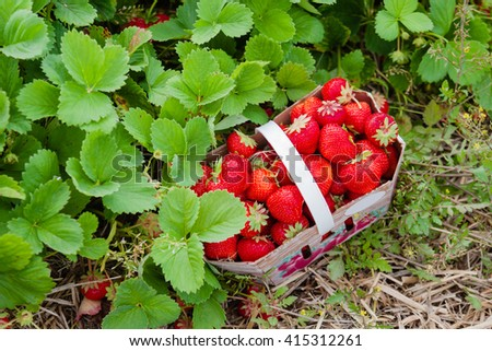 Basket full of fresh ripe red strawberries on the straw at the field of self-picking farm, summer. - stock photo