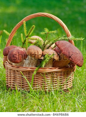 Basket full of huge mushrooms with fir tree branches