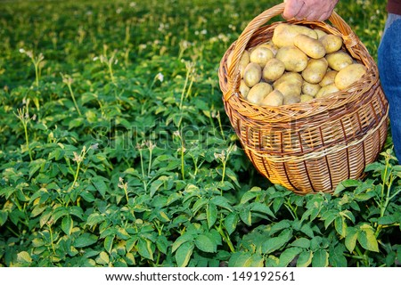 Basket full of potatoes in a potato field - stock photo