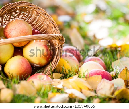 Basket full of red apples scattered on yellow leaves in autumn outdoors - stock photo