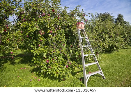 Basket of fresh apples on a picking ladder in a farm apple orchard in the fall. - stock photo
