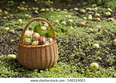 Basket of fresh apples on the field with the fallen apples - autumn harvest in the garden