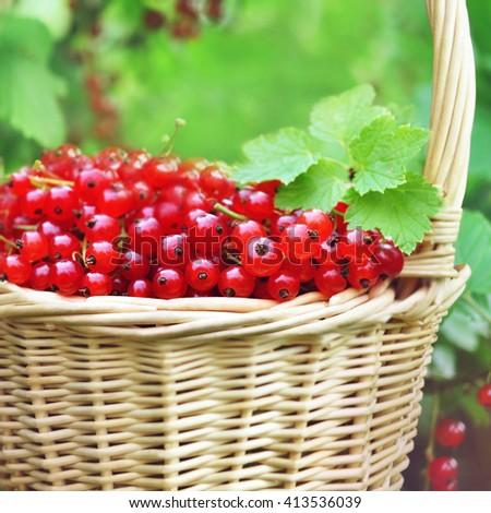 Basket of fresh ripe sweet redcurrant on shrubs background, selective focus - stock photo