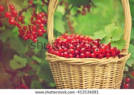 Basket of fresh ripe sweet redcurrant on shrubs background, selective focus, toned - stock photo