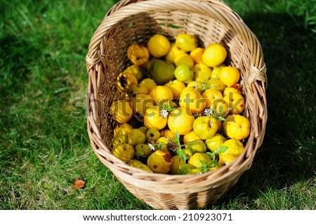 basket of Harvest fruit Japanese quince (Chaenomeles japonica)  - stock photo