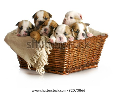 basket of puppies - english bulldog puppies in a wicker basket - 5 weeks old - stock photo