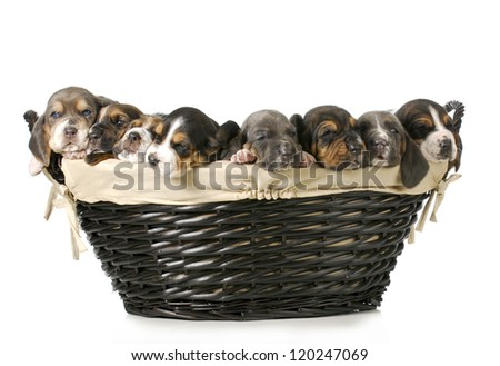 basket of puppies - litter of basset hound puppies - 3 weeks old - stock photo