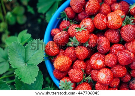 basket of ripe strawberries is in the middle of the field in the bushes of strawberries - stock photo
