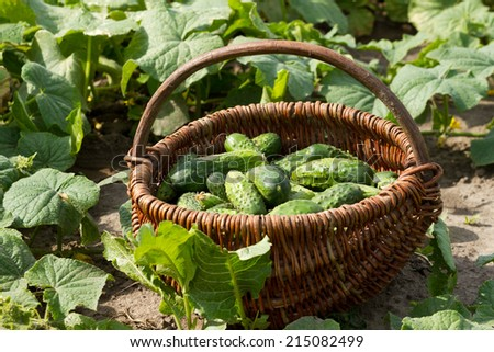 Basket with a fresh cucumbers  - stock photo