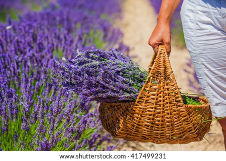 Basket with a lavender in woman hands. Lavander field near Valensole. Provence, France. - stock photo