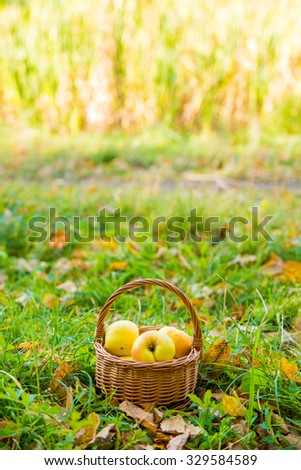 Basket with apples lying on the green grass among autumn leaves in the park.