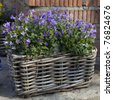 Basket with  bluebells flowers - stock photo