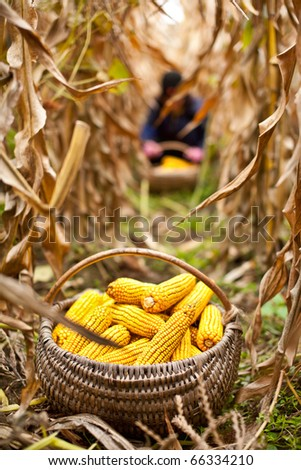 Basket with corn at the harvest, a person is working in the blurred background - stock photo