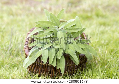 basket with fresh sage in the garden - stock photo