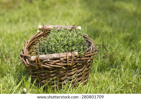 basket with fresh thyme in the garden - stock photo