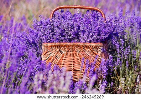 basket with lavender flowers - stock photo