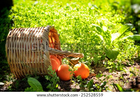 Basket with oranges on green grass in sunshine. natural light - stock photo