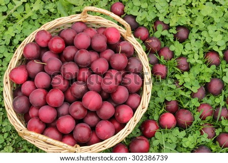 Basket with ripe plums on lush green grass