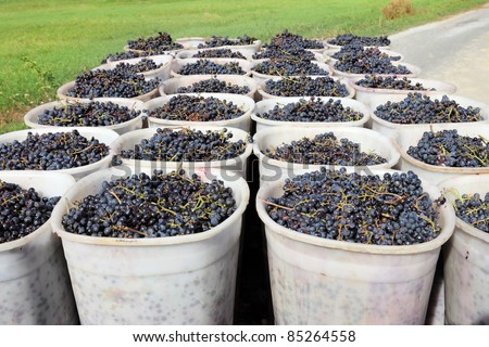 Baskets of Grapes in Tuscany, Italy - stock photo