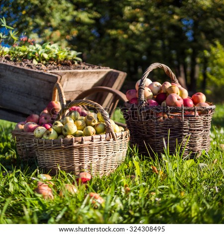 Baskets with ripe apples in autumn