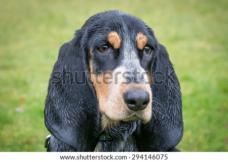 Basset Bleu de Gascogne / Blue Gascony Basset - stock photo
