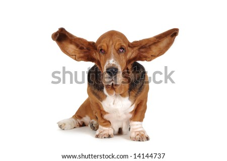 Basset dog with ears overhead