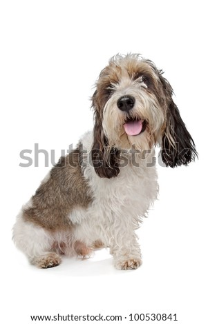 Basset Griffon Vendeen in front of a white background