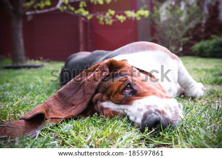 basset hound  - stock photo