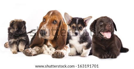 Basset Hound and corgi, labrador, dog,  pomeranian puppies - stock photo