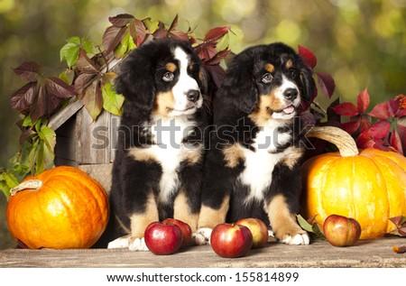 basset hound and pumpkin yellow - stock photo