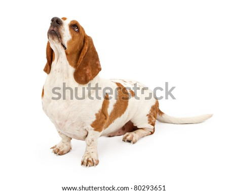 Basset hound dog isolated on white