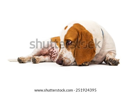 Basset Hound dog laying with head down and to the side