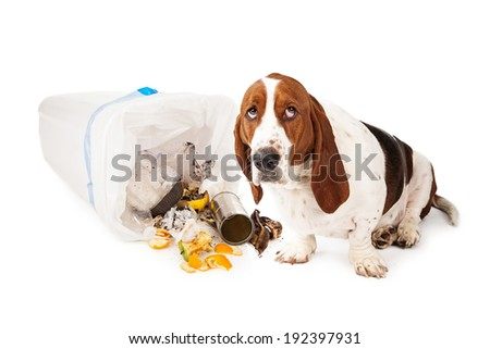 Basset Hound dog looking up with a guilty expression while sitting next to a tipped over garbage can  - stock photo