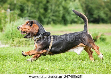 Basset hound dog running on the meadow - stock photo