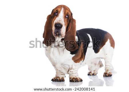 basset hound dog standing - stock photo