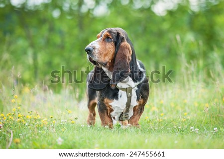 Basset hound dog standing on the meadow - stock photo