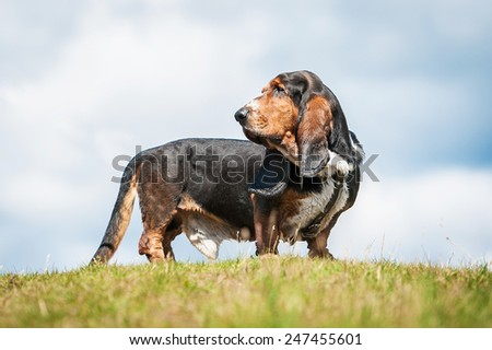 Basset hound dog standing on the top of the hill - stock photo