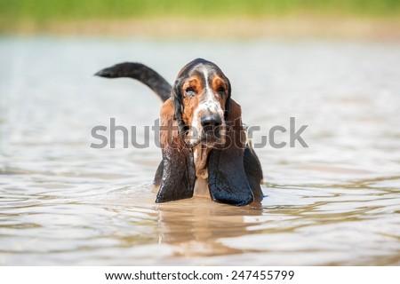 Basset hound dog walking in the water - stock photo