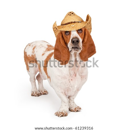 Basset Hound Dog wearing a cowboy hat  isolated on white - stock photo