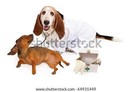 Basset Hound dog wearing a white lab coat and a stethoscope that is placed on a Dachshund dog - stock photo