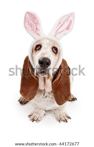 Basset Hound dog wearing bunny ears and isolated on white - stock photo