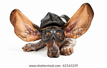 basset hound dog with ears flying back wearing an aviator hat and goggles. Isolated on white. - stock photo