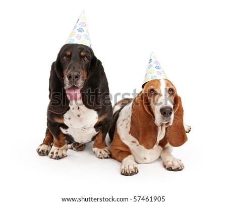 Basset Hound dogs wearing birthday hats with paw prints - stock photo