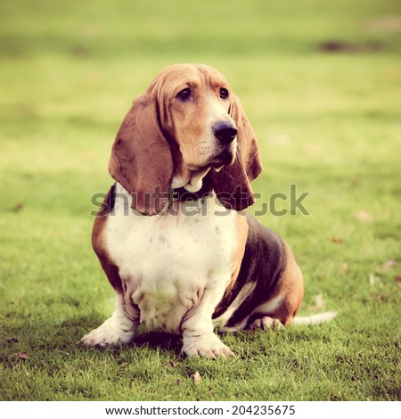 Basset Hound done with a  instagram filter - stock photo