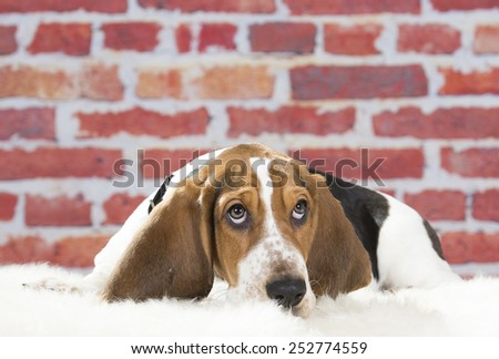 Basset hound in a studio. - stock photo