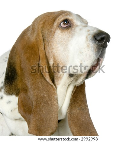 Basset Hound in front of a white background - stock photo