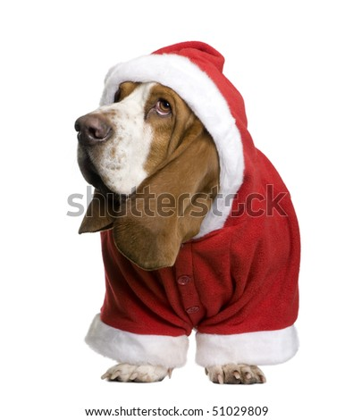 Basset hound in Santa coat, 2 years old, standing in front of white background - stock photo